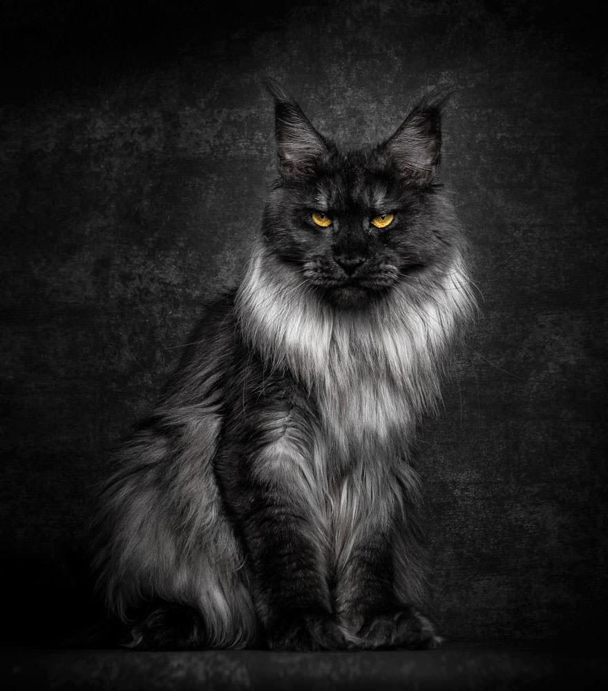 65 фото о том, почему Мейн-кун - главный Бог королевства кошек Пушистые короли!