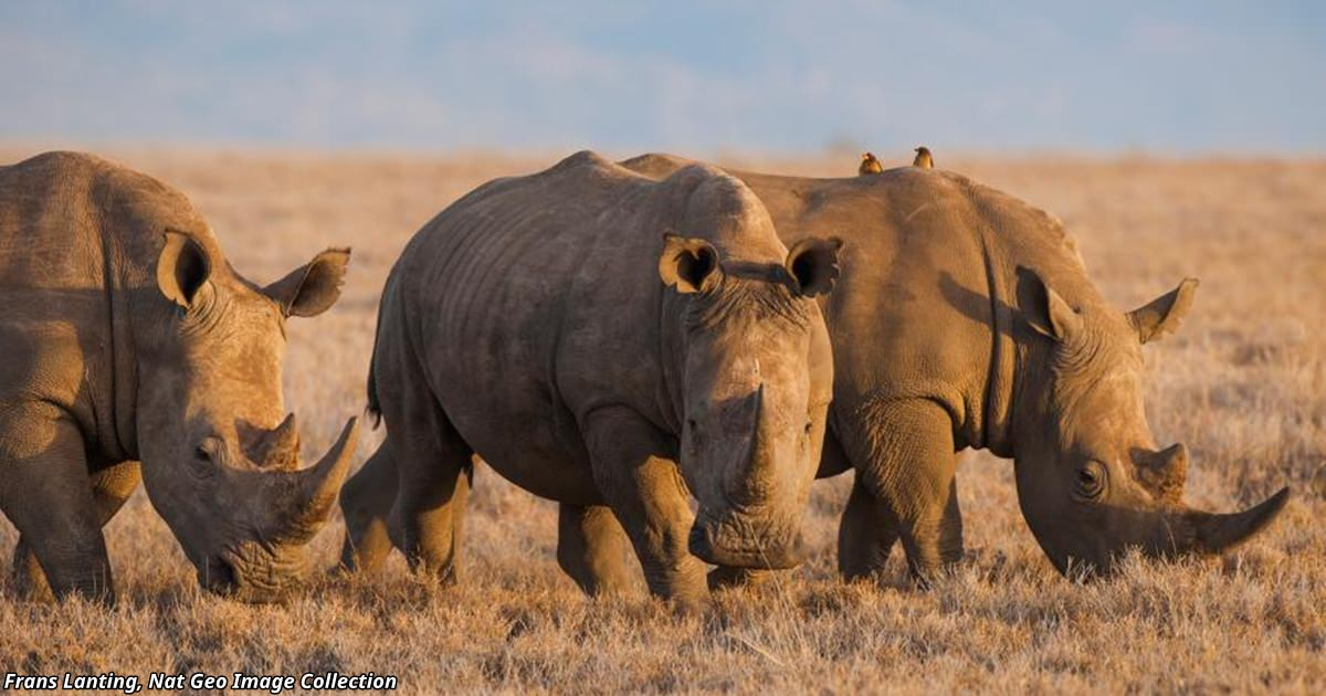 В Китае узаконили торговлю рогом носорога и костями тигра Это плохая новость для природы.