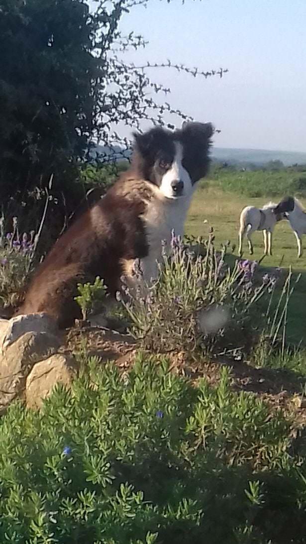 Этот маленький пёс решил, что в доме не хватает чего-то тёплого и шерстяного, и привёл своей хозяйке стадо овец прямо на кухню. Достойный подарок достойного пса
