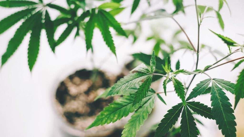 Лекарственный каннабис легализовали в Великобритании. Что дальше? Дело за полной легализацией?